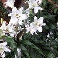 Лилии в Орхидее