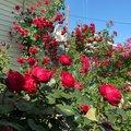 Чудо - розы